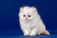 Pedigree cat, Persian cat, kitten, with nose, 5 weeks