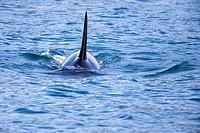 North America,United States,Alaska,Southcentral Alaska,Kenai Peninsula,Kenai Fjords National Park,Killer whale (Orcinus orca),residents group.