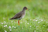 Redshank (Tringa totanus) calling in a meadow; Isle of North Uist Scotland UK