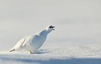 Male Rock Ptarmigan (Lagopus muta) displaying on snow with winter plumage. Utsjoki. Finland. April 2014