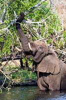 An African Elephant wades into a wetland to feed on a tree canopy.