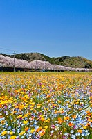 Field of flowers, Shizuoka, Tokai, Japan