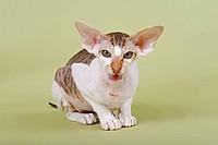 Peterbald cat, 16 months