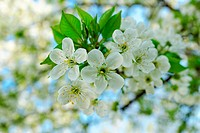 beautyful blossom cherry tree