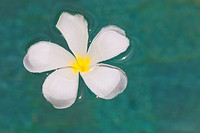A frangipani flower floating in a swimming pool in the Maldives.