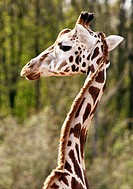 Giraffe, Zoo Zoom, Gelsenkirchen, Germany
