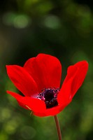 Charming red field flower on the blur