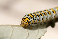 Caterpillar of the figwort (Scrophularia)