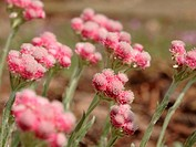 Catsfoot -Antennaria dioica 'Rotes Wunder'