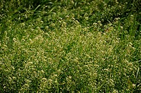 Capsella bursa-pastoris, Hirtentäschel, Shepherds purse