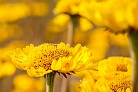 A field of honeycomb head flowers (Balduina uniflora); Florida, USA.