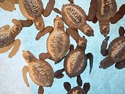 Juvenile sea turtles in pool at turtle hatchery. Pemuteran, Bali, Indonesia