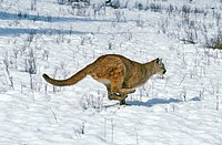 Cougar, puma concolor, running on Snow, Montana.