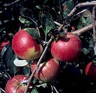 Jonathan Apples (Malus domestica), Rosaceae.
