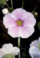 Poison primrose (Primula obconica), Primulaceae.