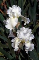Tall Bearded Iris (Iris Henry Shaw), Iridaceae.