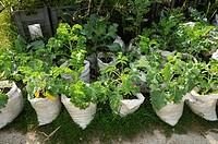 Kale in rice bags / (Brassica oleracea acephala)