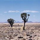 Aloe dichotoma (quiver tree or Kokerboom), Namib desert, Namibia.