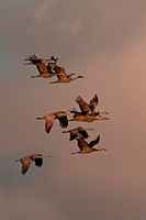 Sandhill Cranes (Grus canadensis) in flight over the Bosque del Apache National Wildlife Refuge, New Mexico.