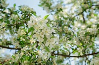 apple tree blossom with white flowers