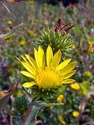 Hardy Grindelia, Scaly grindelia, Gumplant, Gumweed (Grindelia robusta), inflorescence