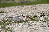 Common tern feeding nestling, Sterna hirundo, Germany, Europe / Flussseeschwalbe füttert Jungvogel, Sterna hirundo, Deutschland, Europa