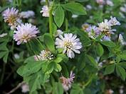 Persian clover, Shaftal (Trifolium resupinatum), blooming, Germany
