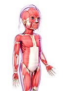 Human muscular system, computer artwork.