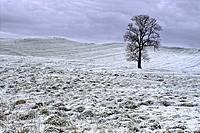A lone tree in a frozen landscape, County Westmeath, Ireland.