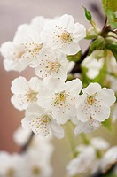 Close up of flowers of Chinese pear (Pyrus pyrifolia).