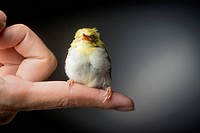 Green kingfisher (Chloroceryle americana) chick resting on a human finger. After hatching, the chicks of this kingfisher are fed by both parents. The ...