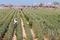 Workers tending crops. Photographed in Gadsen, Arizona, USA.