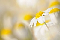 scentless mayweed (Anthemis arvensis)