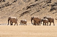 Africa, Kunene, six African elephants, Loxodonta africana, walking through Hoanib River