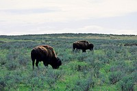 Bison grazing in Yellowstone National Park in Wyoming, United States.