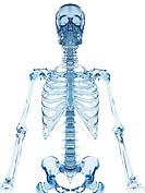 Human skeletal system, computer illustration.