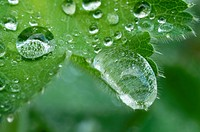 Water Drops Showing the Lotus Effect of a Thistle Leaf, Bad Schallerbach, Austria.