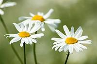 Marguerite (leucanthenum)