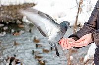Hungry pigeon eating bread from women`s palm in wi