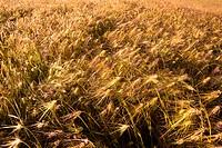 Barley field at bright sunny day