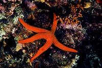 Red sea star (Hacelia attenuata), Vis island, Croatia