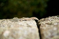 small lizard on stone at spain
