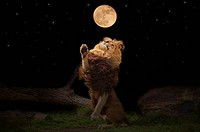 A lion reaching for the moon