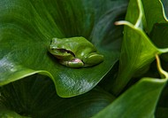 tree frog camouflaged on calla leaves