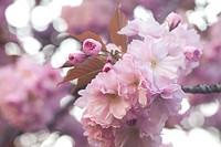 background of the flowers of sakura