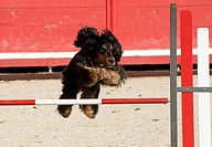 purebred cocker spaniel in a competition of agility