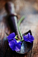 Sweet pea Lathyrus oderatus flower on antique hand trowel lying on wet wooden table.