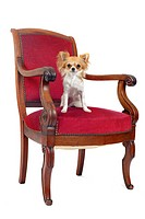 chihuahua sitting on an antique chair in front of white background
