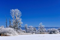 Rime on trees on a cold winter day, Upper Bavaria, Germany.