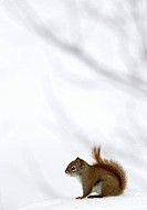Red squirrel sitting on snow, Tamiasciurus hudsonicus, Quebec, Canada,